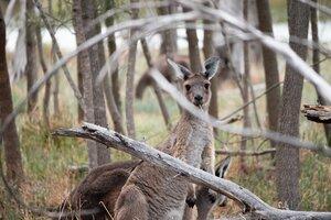 Kangaroo in Heirisson Issland