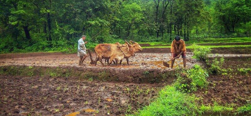 Farmers in Kokan