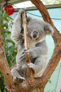 koala-sydney-for-families