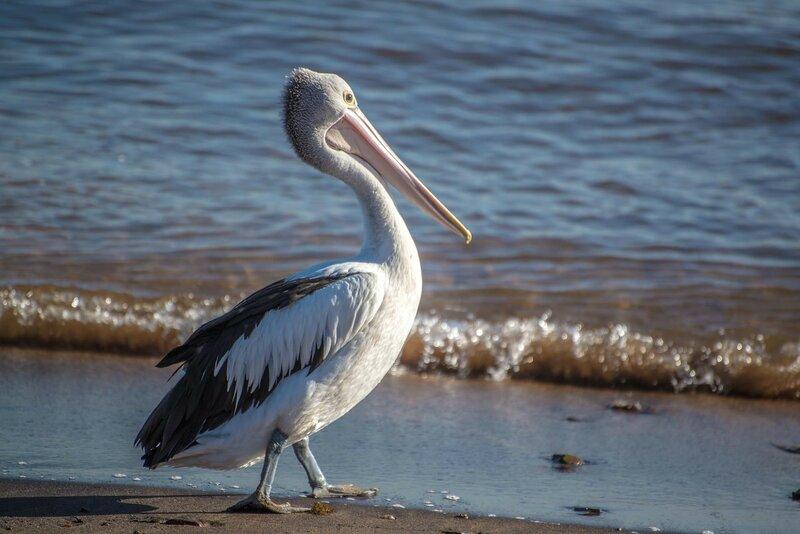 Pelican on the beach, Sydney